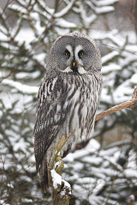 Great Gray Photograph - Great Gray Owl In A Tree Germany by Duncan Usher