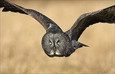 Photograph - Great Gray Owl In Flight by Daniel Behm