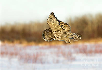 Photograph - Great Gray Owl by Jim Zipp