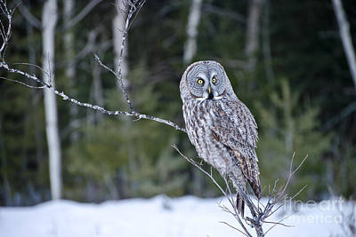 Owl Photograph - Great Gray Owl On Branch by Michael Cummings
