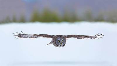 Photograph - Great Gray Owl On The Hunt by Dale J Martin