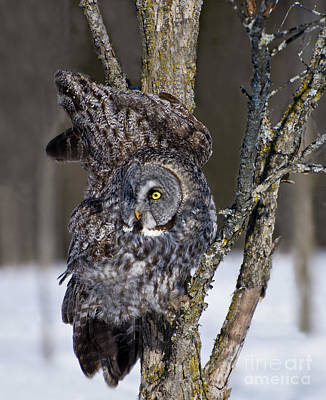 Outdoor Graphic Tees - Great Gray Owl Pictures 587 by World Wildlife Photography