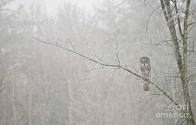 Game Of Chess - Great Gray Owl Pictures 645 by World Wildlife Photography
