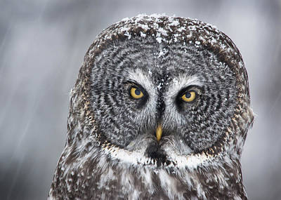 Snowstorm Photograph - Great Gray Owl Scowl Minnesota by Benjamin Olson