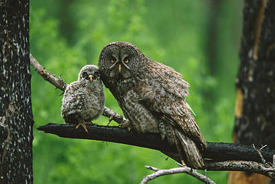 Baby Bird Photograph - Great Gray Owl With Chick Saskatchewan by Tom Vezo