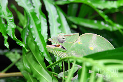 Beers On Tap - Great Green Chameleon camouflages itself in the midst of the gre by Fed Cand
