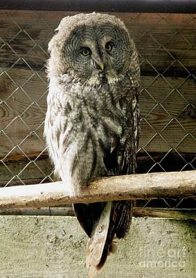 Photograph - Great Grey Owl by Ausra Huntington nee Paulauskaite