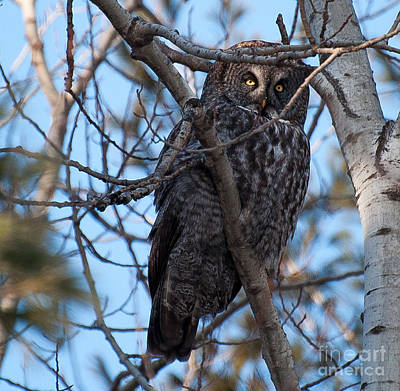 Photograph - Great Grey Owl by Bianca Nadeau