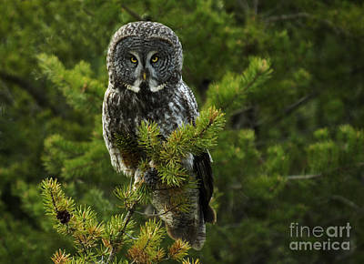 Photograph - Great Grey Owl by Bob Christopher