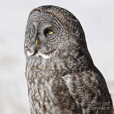 Photograph - Great Grey Owl by Dee Cresswell