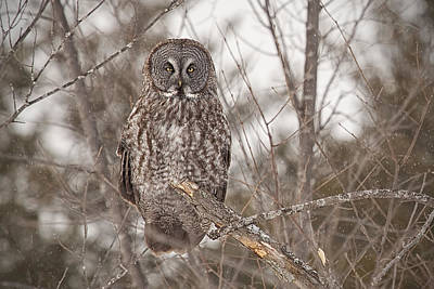 Great Grey Owl Art Print by Eunice Gibb