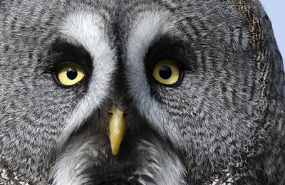 Great Gray Photograph - Great Grey Owl Finland by Malcolm Schuyl