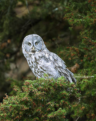 Owl Photograph - Great Grey Owl by Gary Langley