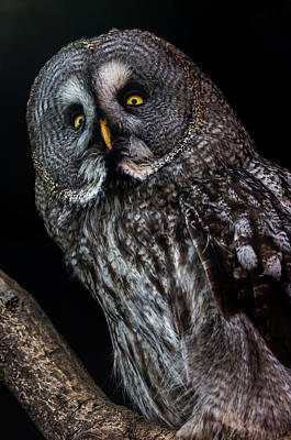 Great Grey Owl Art Print by Gerard Pearson