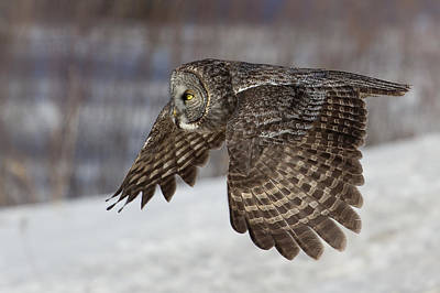 Great Grey Owl In Flight Art Print by Jakub Sisak