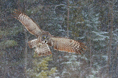 Snowfall Photograph - Great Grey Owl In Snowfall by Jim Cumming