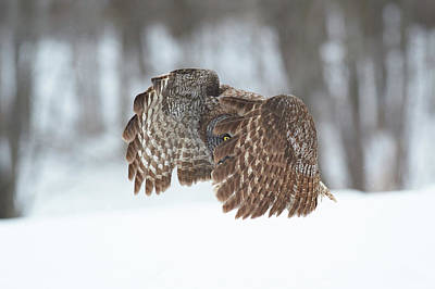 Flying Photograph - Great Grey Owl by Jim Luo