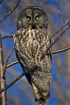 Photograph - Great Grey Owl by Michael Hubley