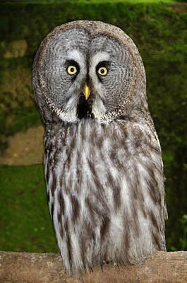 Great Grey Owl Photograph - Great Grey Owl by Nigel Downer
