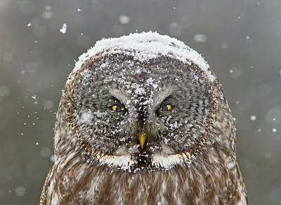 Snowfall Photograph - Great Grey Owl Winter Portrait by Mircea Costina