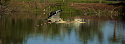 Photograph - Great Heron In Flight by Amazing Jules
