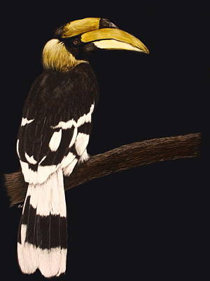 Hornbill Drawing - Great Hornbill by Heather Ward