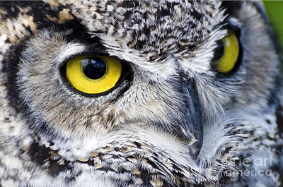 Photograph - Great Horned Closeup by Dee Cresswell