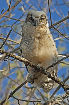 Photograph - Great Horned Owl 2 by Bob Christopher