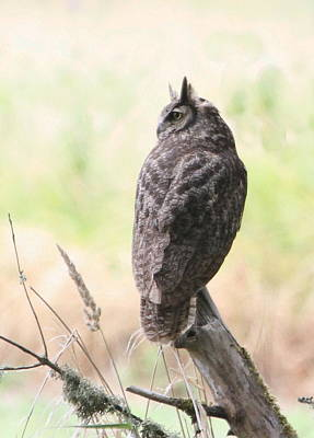Photograph - Great Horned Owl by Angie Vogel