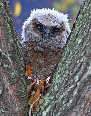 Photograph - Great Horned Owl Chick by Ira Runyan