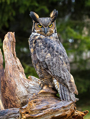 Craig Brown Photograph - Great Horned Owl by Craig Brown