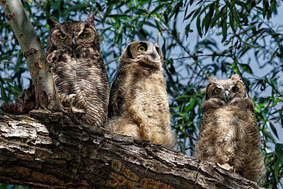 Photograph - Great Horned Owl Family by Kathleen Bishop