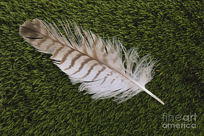 Calamus Photograph - Great Horned Owl Feather by Larry West
