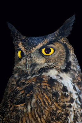 Photograph - Great Horned Owl by Frank Wilson