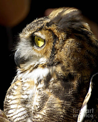 Owl Photograph - Great Horned Owl Glare by Liz Masoner
