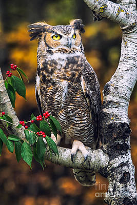 Great Horned Owl IIi Art Print by Todd Bielby