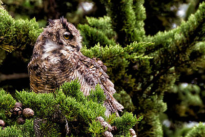 Great Horned Owl In A Cypress Tree Art Print