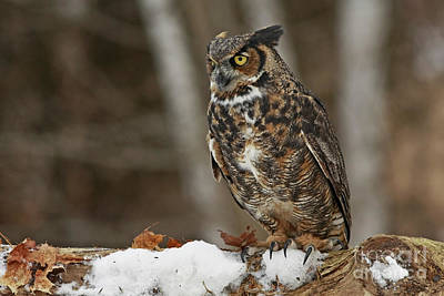 Great Horned Owl In A Snowy Winter Forest Print by Inspired Nature Photography Fine Art Photography