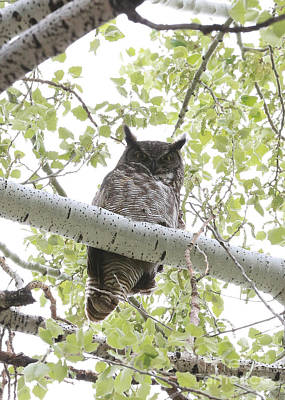 Photograph - Great Horned Owl In Cottonwood Treee by Carol Groenen