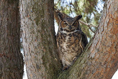 Photograph - Great Horned Owl by Jack R Perry