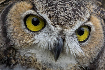 Photograph - Great Horned Owl by James Woody