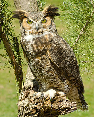 Art Print featuring the photograph Great Horned Owl by JRP Photography