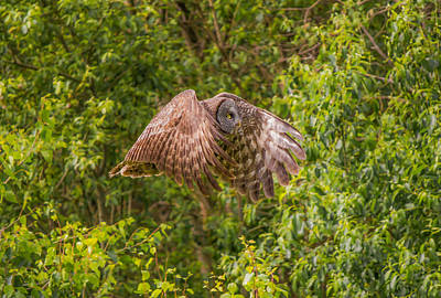 Photograph - Great Horned Owl by Laura Bentley