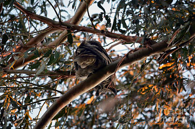 Photograph - Great Horned Owl Looking Down  by Afroditi Katsikis
