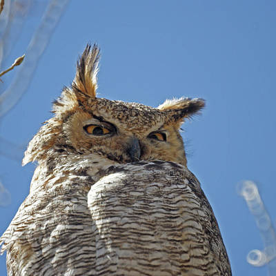Photograph - Great Horned Owl May 2011 by Ernie Echols