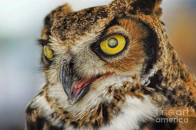 Photograph - Great Horned Owl by Olga Hamilton