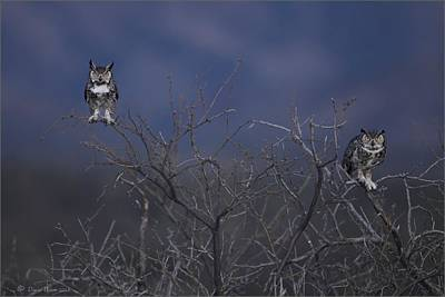 Photograph - Great Horned Owl Pair At Twilight by Daniel Behm