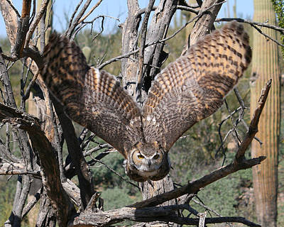 Bath Time - Great Horned Owl Taking Off by Old Pueblo Photography