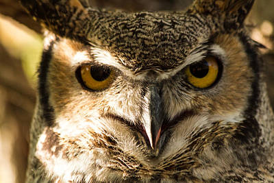 Photograph - Great Horned Owl by Teri Virbickis