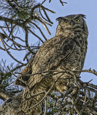 Photograph - Great Horned Owl by Tom Wilbert
